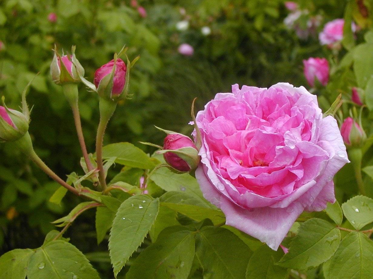 comte de chambord portland rose