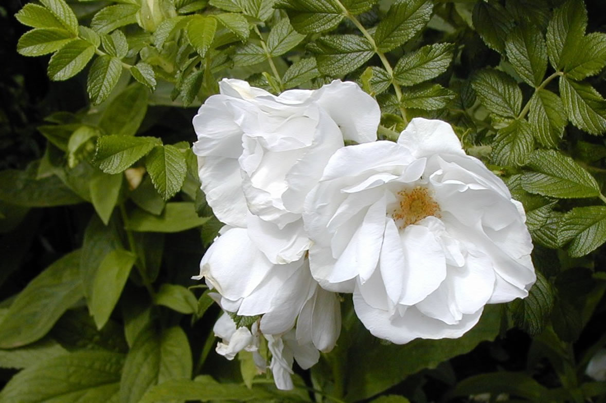 blanche double de coubert rugosa rose