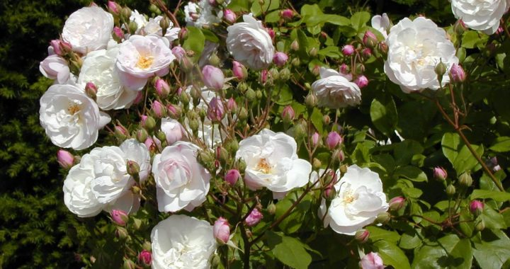 blush noisette rose