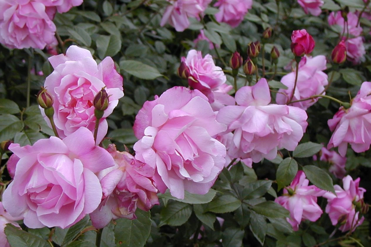 Old Blush China rose