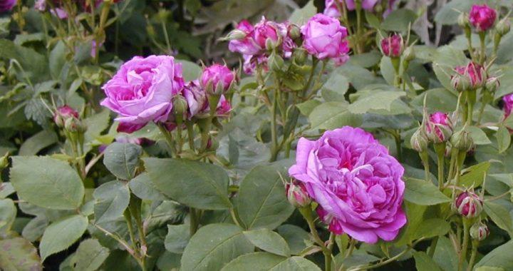 reine des violettes hybrid perpetual rose