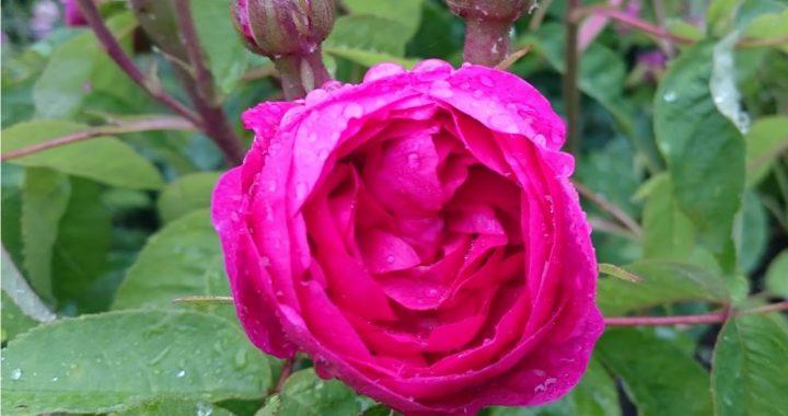 rose du roi portland rose