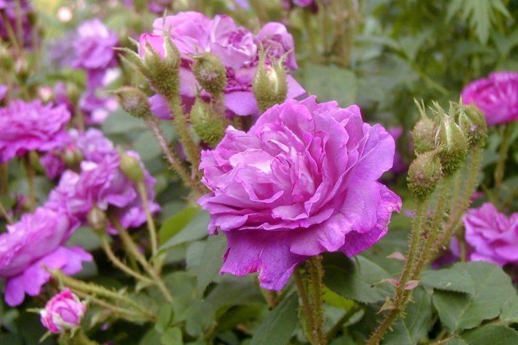 william lobb moss rose