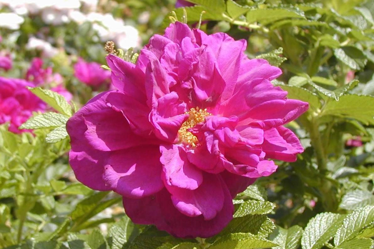 Top 10 starter roses