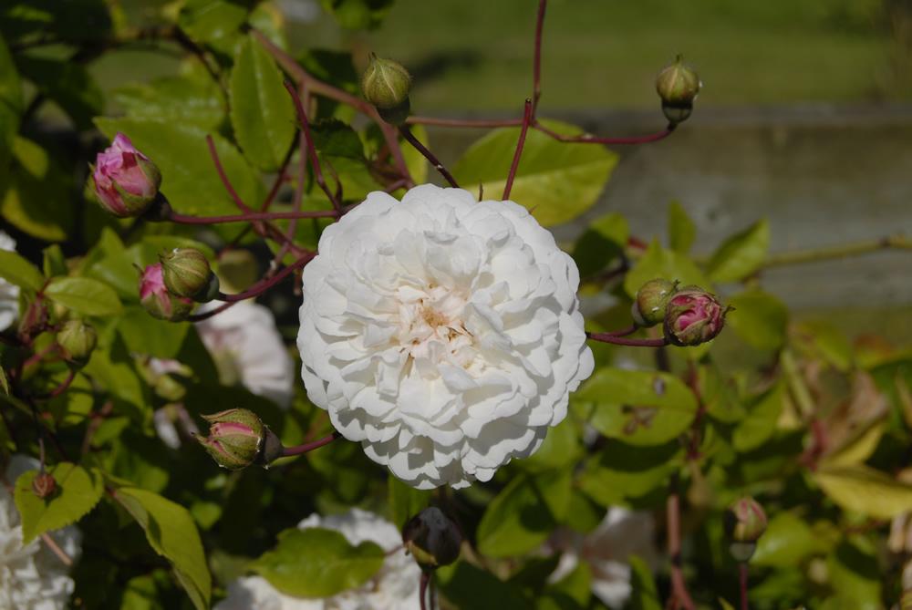 'Felicite perpetue' in the Hampton Court rose border