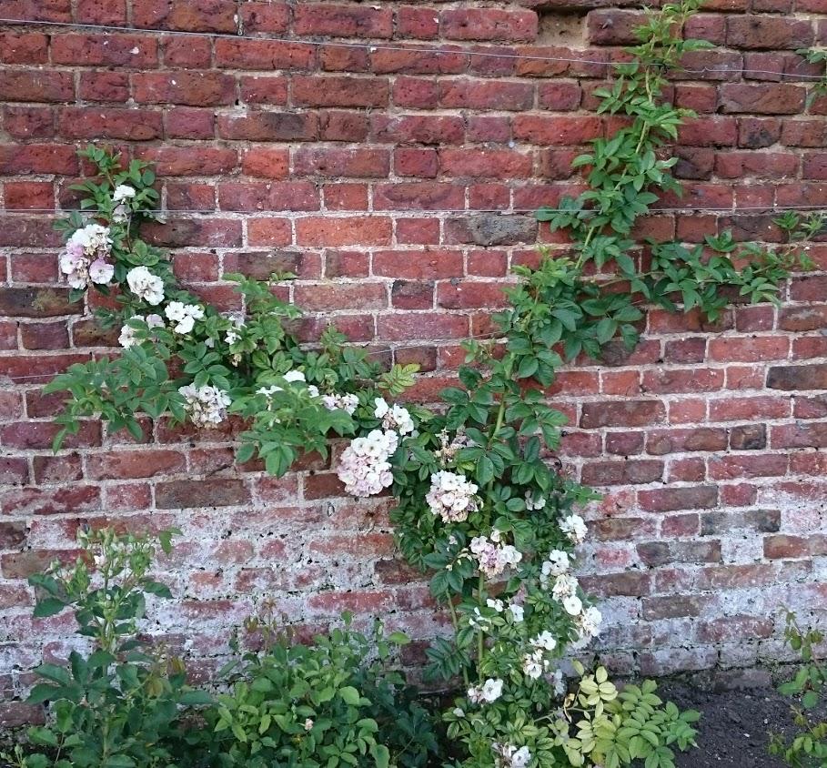 Hampton Court rose border in flower