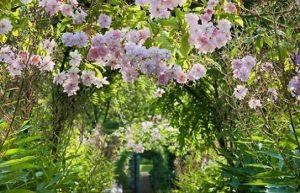 carolside roses