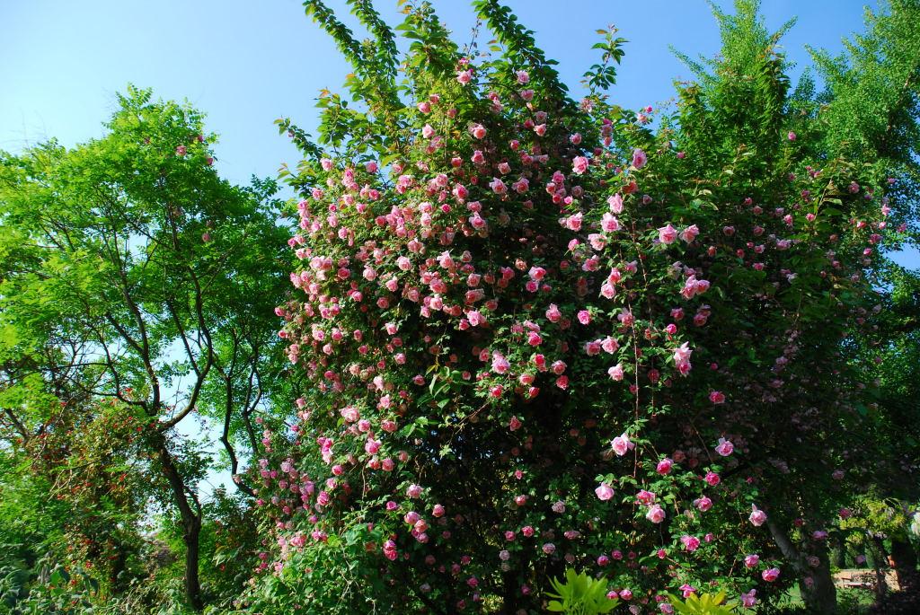 roses at la bonne maison