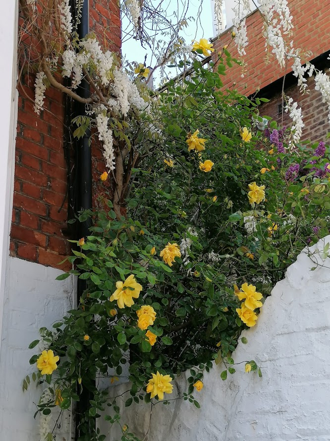 Yellow roses and wisteria