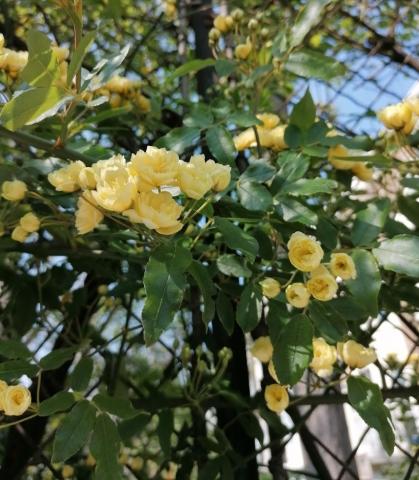 Rosa banksia lutea
