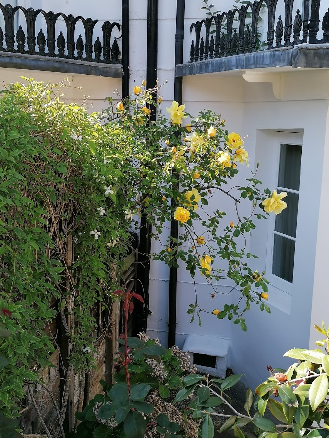 Yellow climbing roses in front garden