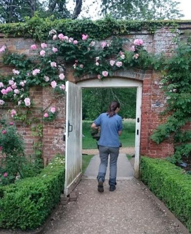 Mottisfont roses on wall